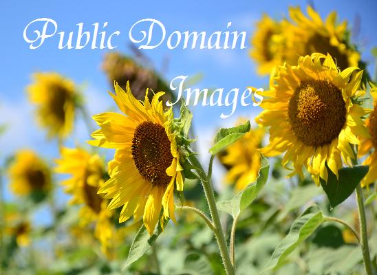 http://www.freephotogaleries.com/picture/Sun_flower_crop/category/5-nature